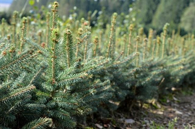 Výroba, Sazenice pro pěstitele vánočních stromků